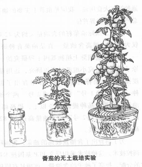 科技世界之最:最早应用蔬菜无土栽培技术插图(1)