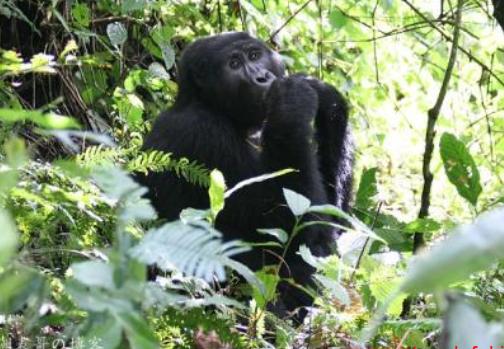 动物界的丛林之王是谁 大猩猩真正的丛林之王