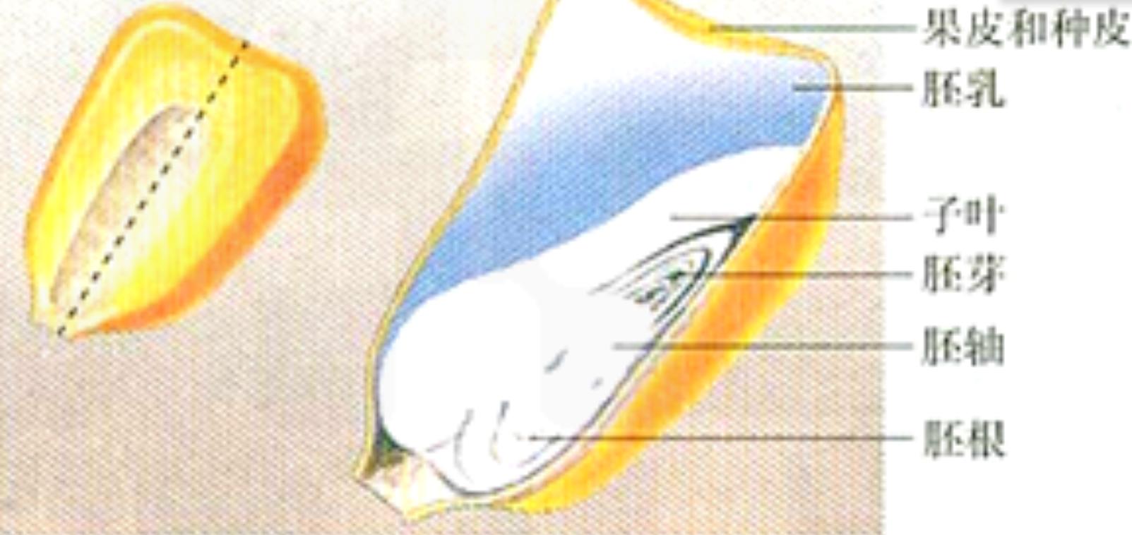 小小科学家:玉米粒变蓝了——淀粉遇碘液之后变成蓝色插图