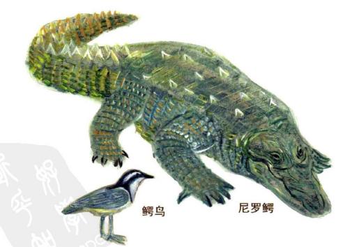 孩子想知道的趣味动物小知识:给鳄鱼清理牙齿的鳄鸟插图(2)