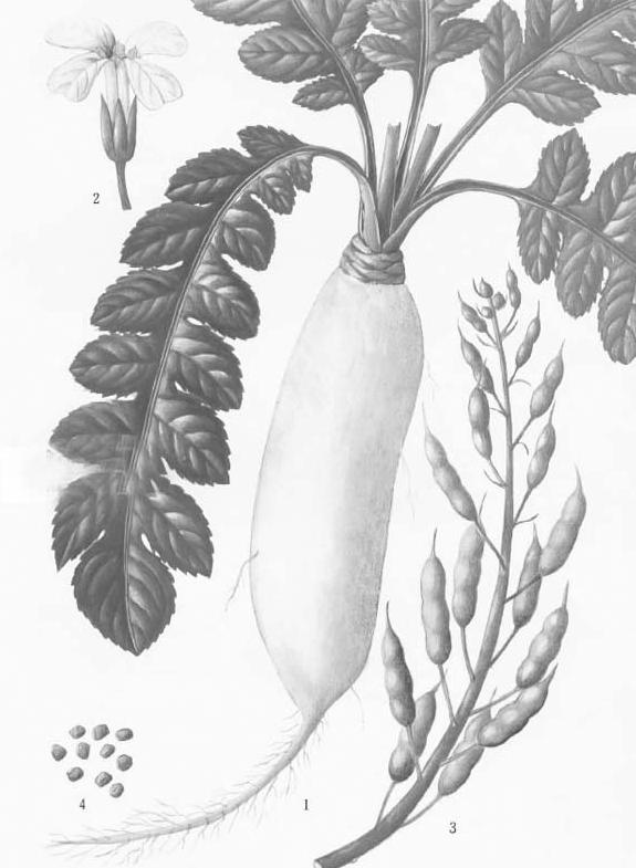 中国古代科学家的故事:徐大椿用萝卜籽治病插图(1)