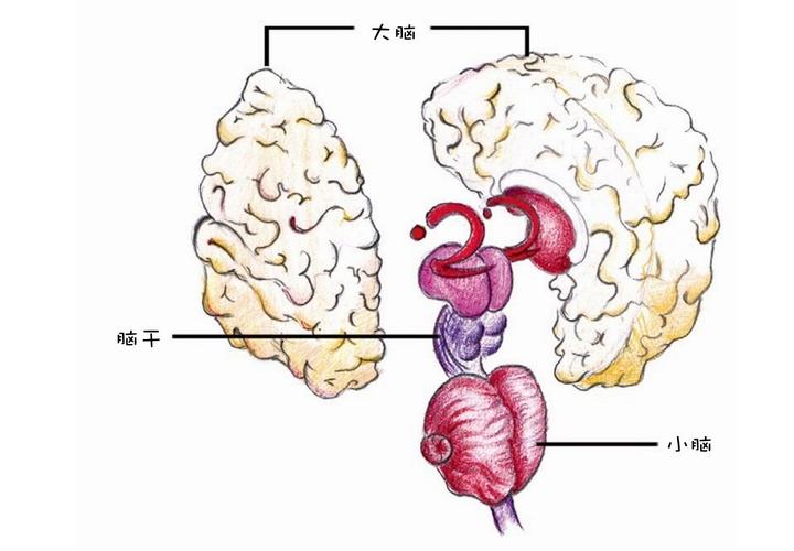 人体知识趣味小百科:人体大脑是什么形状?(大脑结构图和功能图)插图(1)