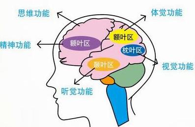人体知识趣味小百科:人体大脑是什么形状?(大脑结构图和功能图)插图(2)