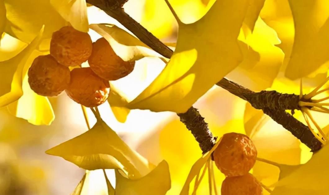 中国最古老的植物之一:银杏树介绍——带你走进银色斑驳的世界插图