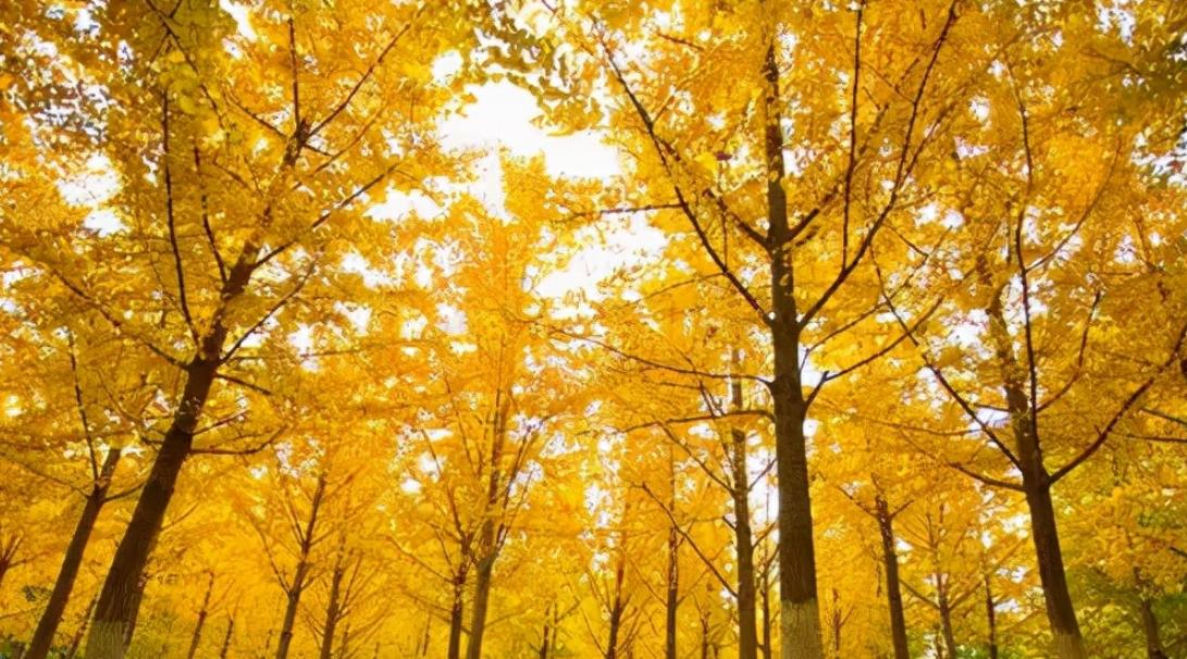 中国最古老的植物之一:银杏树介绍——带你走进银色斑驳的世界插图(2)