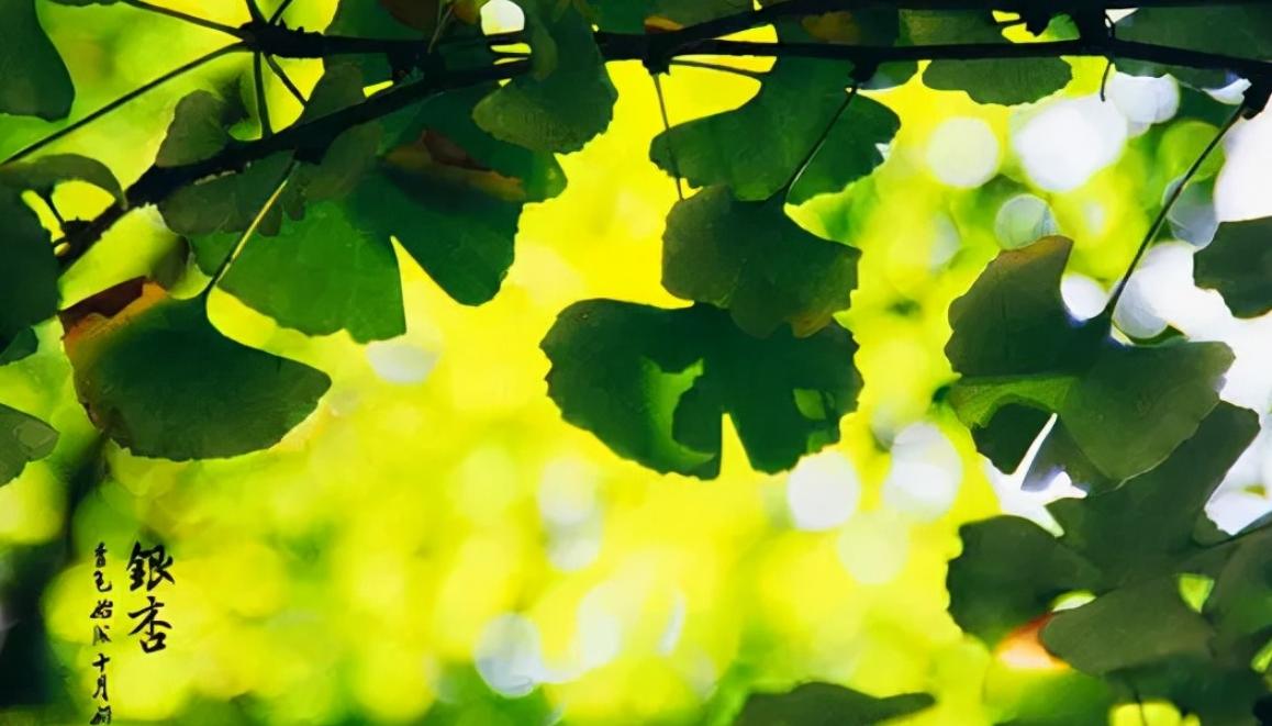 中国最古老的植物之一:银杏树介绍——带你走进银色斑驳的世界插图(3)