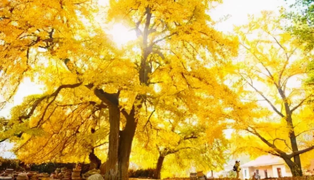 中国最古老的植物之一:银杏树介绍——带你走进银色斑驳的世界插图(4)