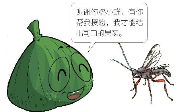 无花果为什么叫无花果,无花果名字的由来,无花果相关知识插图(2)