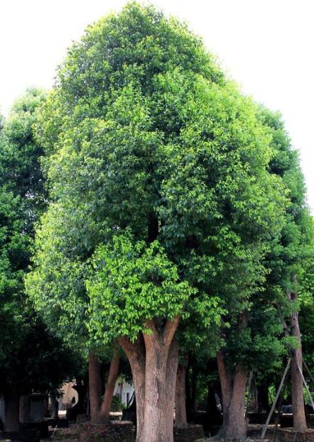 香樟树的作用有哪些?国家二级保护树种——香樟树插图