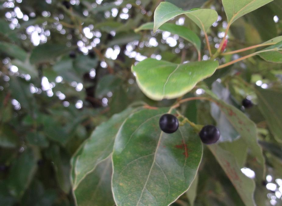 香樟树的作用有哪些?国家二级保护树种——香樟树插图(2)