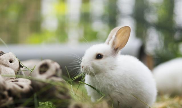 兔子的眼睛都是红色的吗?灰兔的眼睛是什么颜色?插图