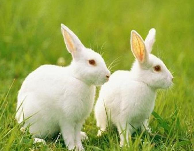 兔子的眼睛都是红色的吗?灰兔的眼睛是什么颜色?插图(1)