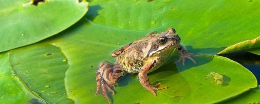 青蛙靠什么呼吸?