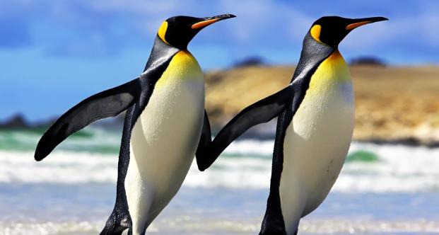 企鹅有翅膀,为什么不能飞?插图