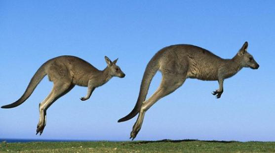 袋鼠为什么跳着走路插图