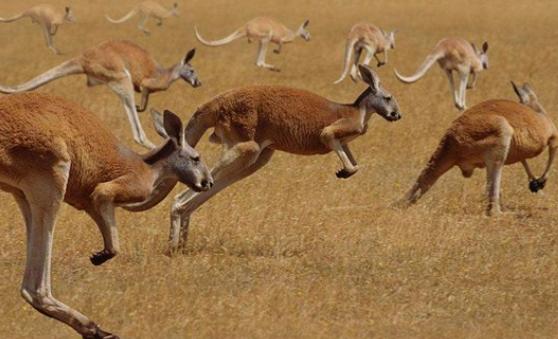 袋鼠为什么跳着走路插图(1)