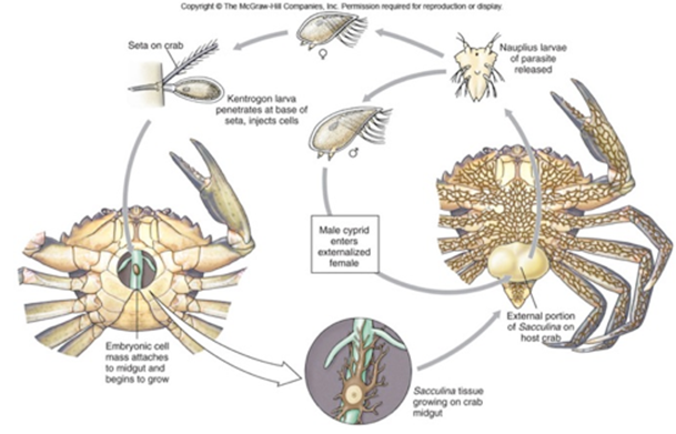 蟹奴寄生的螃蟹还能吃吗?蟹奴是什么?插图(1)
