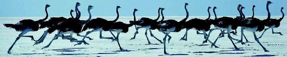 鸵鸟(世界上最大的鸟)插图(2)