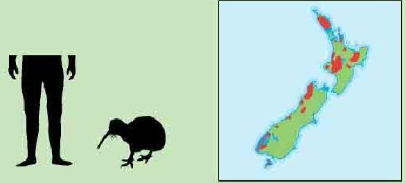 几维鸟(被称为新西兰国鸟的濒危种鸟类)插图(1)