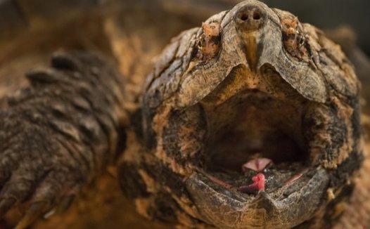 短吻鳄和鳄鱼的区别有什么?如何区分两种乌龟?