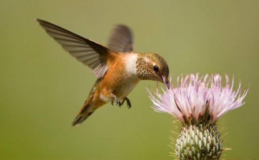 蜂鸟的特点 蜂鸟为什么那么小