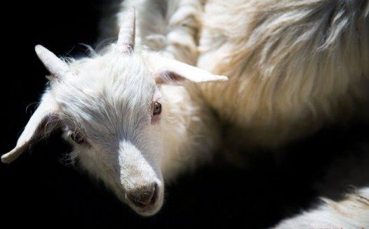 羊绒为什么这么贵?