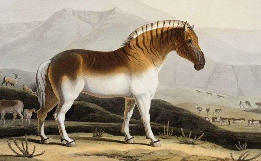 一种灭绝的斑马亚种 伯切尔氏斑马的资料